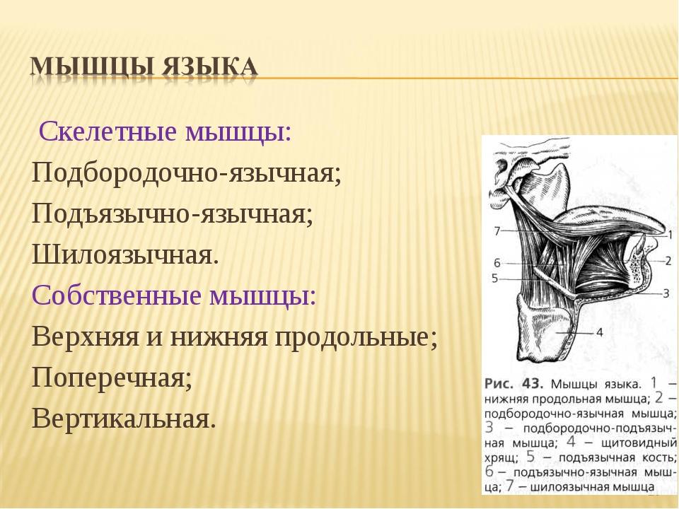 Скелетные мышцы: Подбородочно-язычная; Подъязычно-язычная; Шилоязычная. Собс...