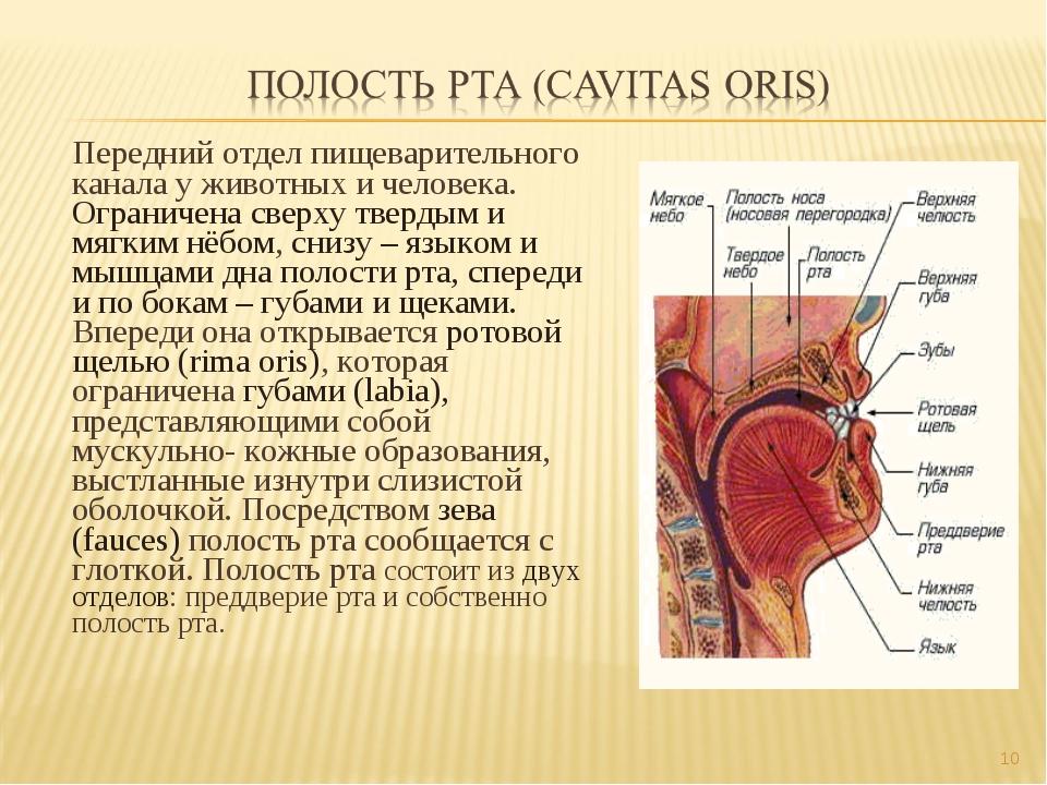 Передний отдел пищеварительного канала у животных и человека. Ограничена свер...