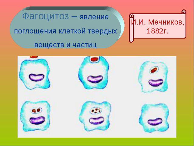Фагоцитоз – явление поглощения клеткой твердых веществ и частиц И.И. Мечников...