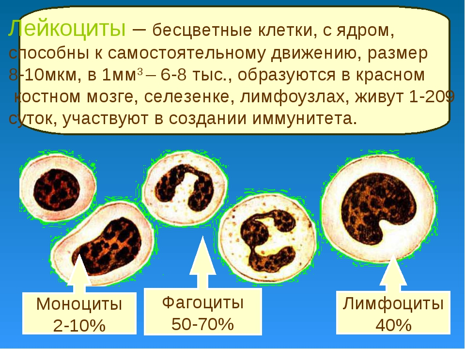 Фагоциты 50-70% Лимфоциты 40% Моноциты 2-10% Лейкоциты – бесцветные клетки, с...