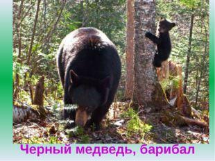 Черный медведь, барибал