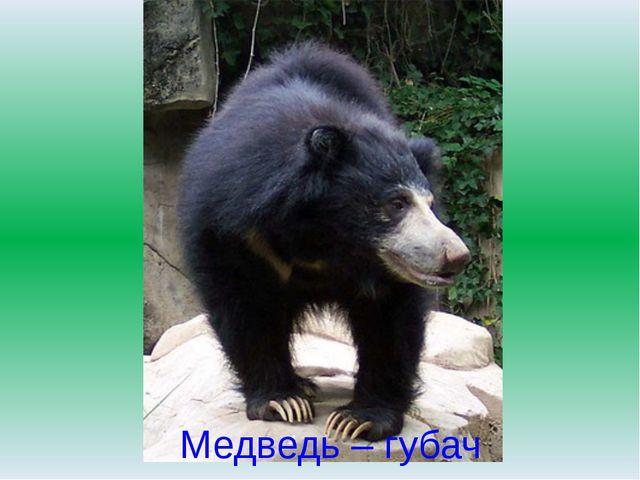 Медведь – губач