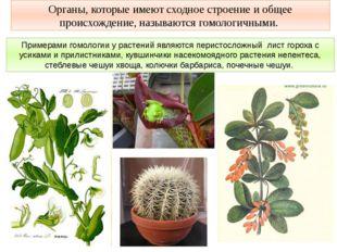 Примерами гомологии у растений являются перистосложный лист гороха с усиками