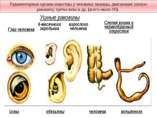 Рудиментарные органы известны у человека: мышцы, двигающие ушную раковину, тр...