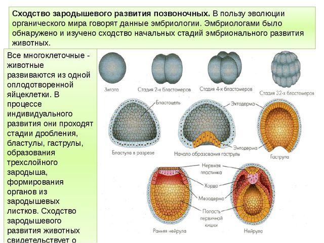 Сходство зародышевого развития позвоночных. В пользу эволюции органического м...