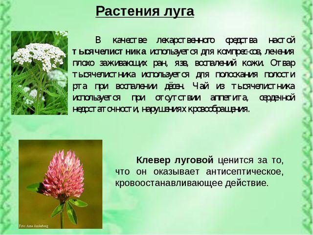 Растения луга В качестве лекарственного средства настой тысячелистника исполь...