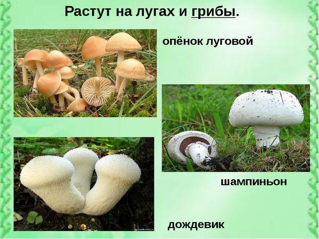 опёнок луговой шампиньон дождевик Растут на лугах и грибы.