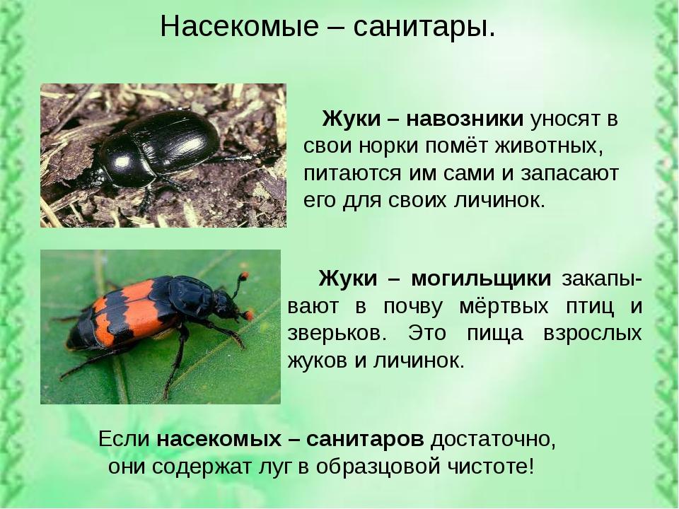Насекомые – санитары. Жуки – навозники уносят в свои норки помёт животных, пи...