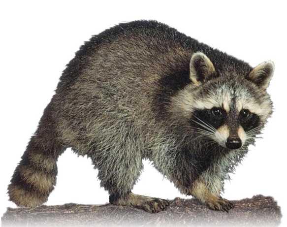 C:\Мои документы\Baby\Картинки\Now\Animals\raccoon1.jpg