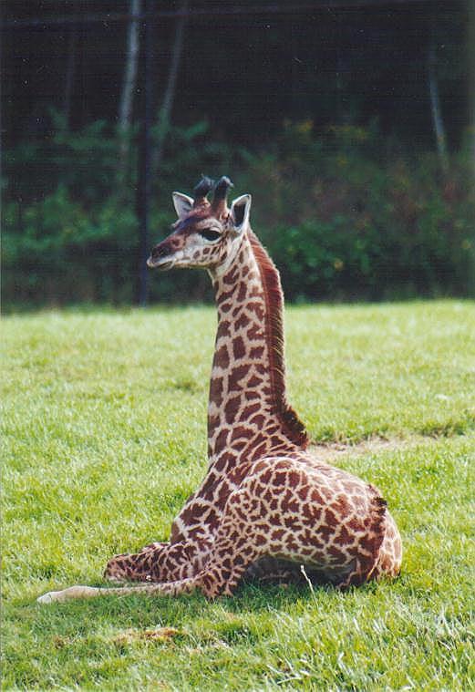 0922-Young_Giraffe-by_Art_Slack