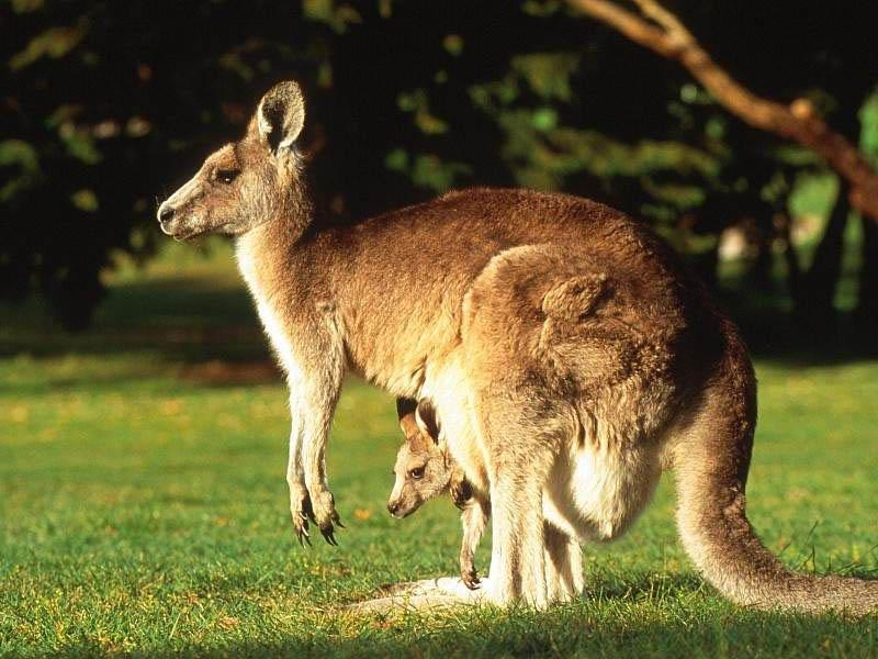 кенгуру1
