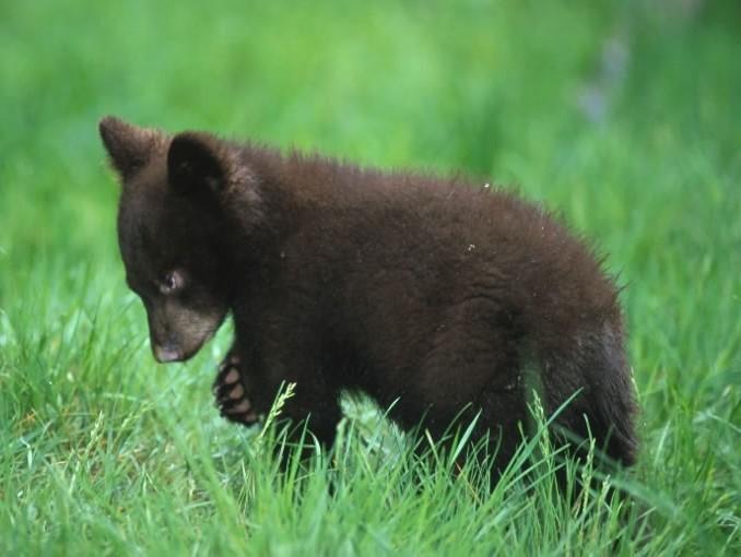 black_bear_cub