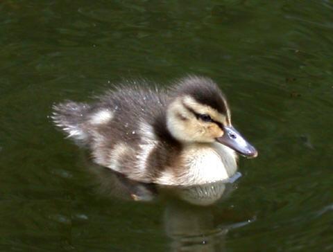 Dscn5295-duckling-New_small