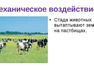 Механическое воздействие. Стада животных вытаптывают землю на пастбищах.