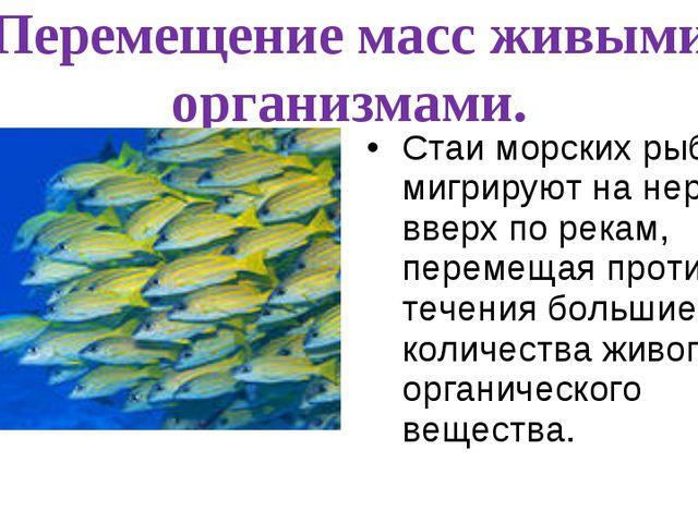 Перемещение масс живыми организмами. Стаи морских рыб мигрируют на нерест вве...