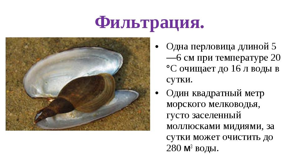 Фильтрация. Одна перловица длиной 5—6 см при температуре 20 °С очищает до 16...