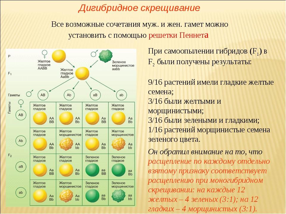 При самоопылении гибридов (F1) в F2 были получены результаты: 9/16 растений и...
