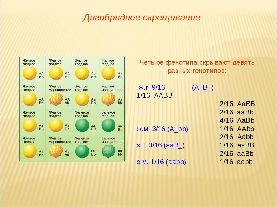 Четыре фенотипа скрывают девять разных генотипов: ж.г. 9/16(А_B_)1/16 ААВВ...