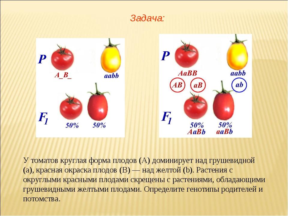 У томатов круглая форма плодов (А) доминирует над грушевидной (а), красная ок...