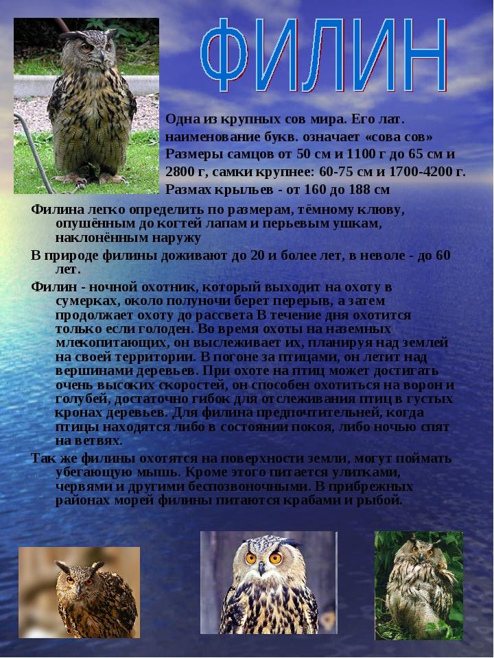 Одна из крупных сов мира. Его лат. наименование букв. означает «сова сов» Раз...