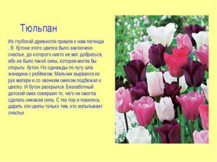 Тюльпан Из глубокой древности пришла к нам легенда . В бутоне этого цветка бы