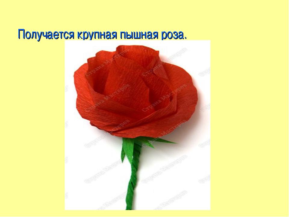 Получается крупная пышная роза.