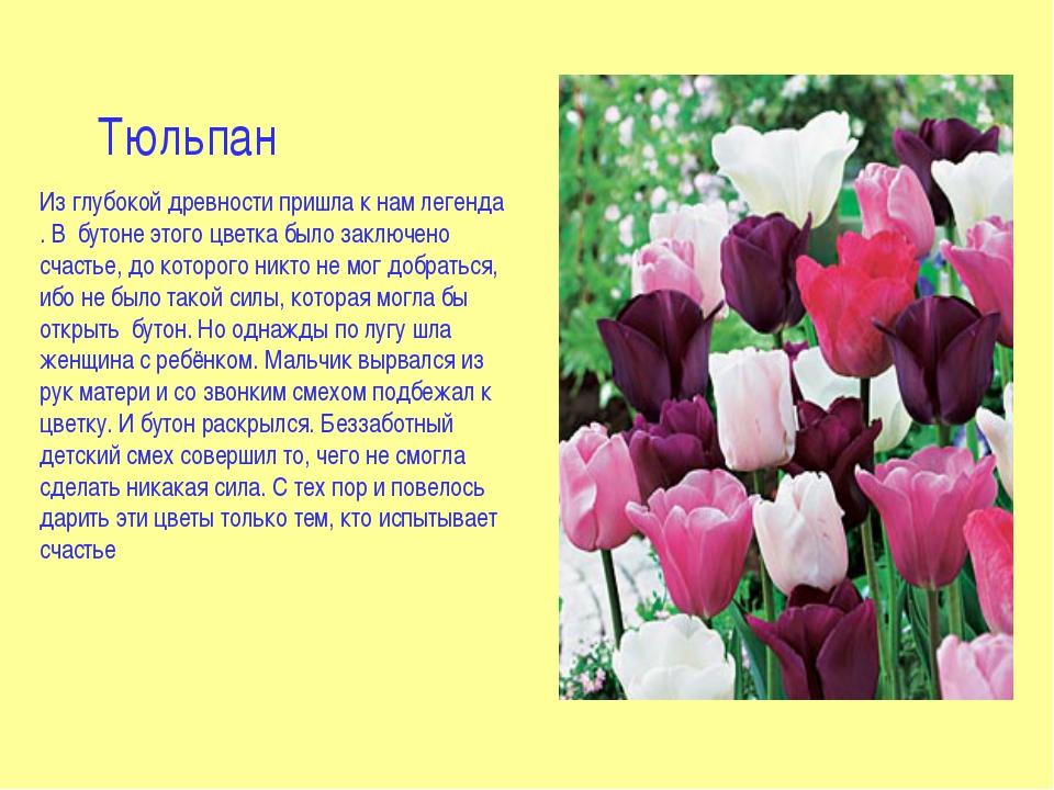 Тюльпан Из глубокой древности пришла к нам легенда . В бутоне этого цветка бы...