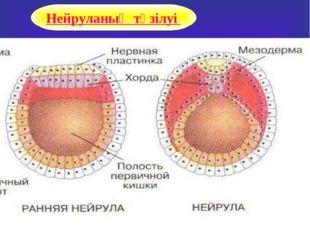 Нейруланың түзілуі