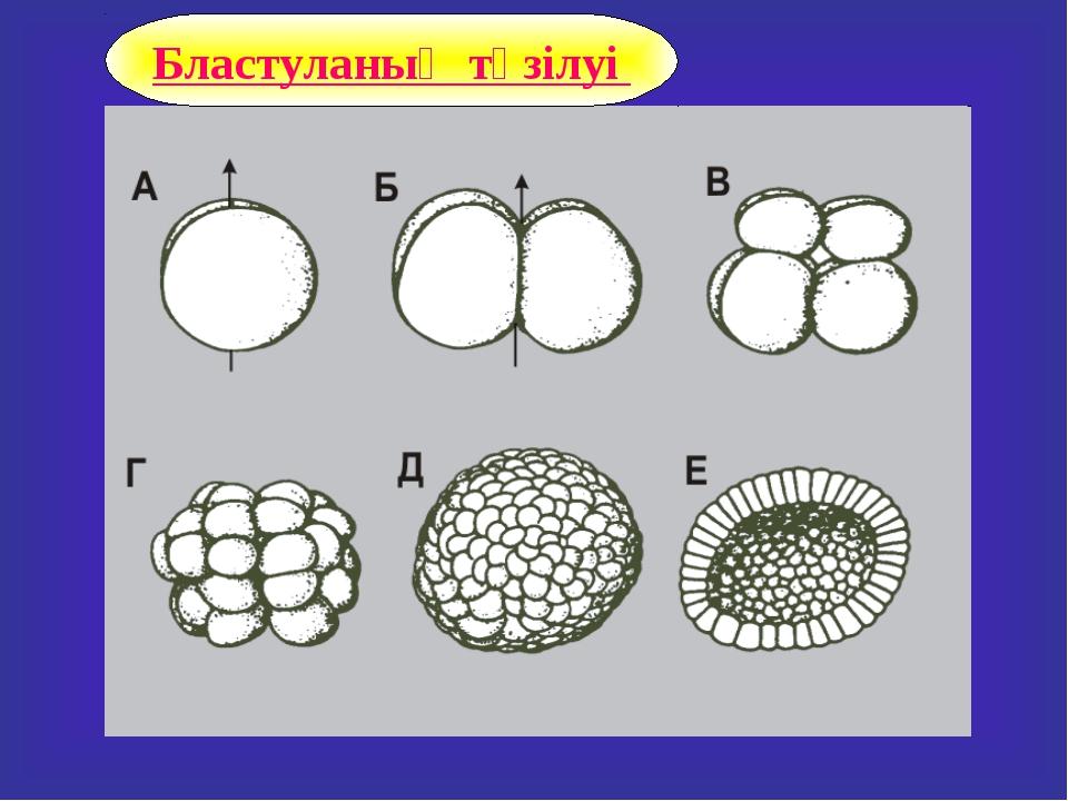 Бластуланың түзілуі