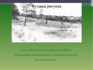 Сосна, известная всем жителям города Выксы на перекрёстке улиц Островского и