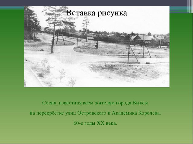 Сосна, известная всем жителям города Выксы на перекрёстке улиц Островского и...