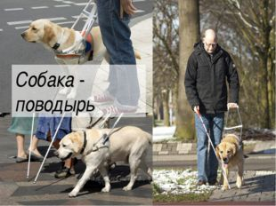 Собака - поводырь