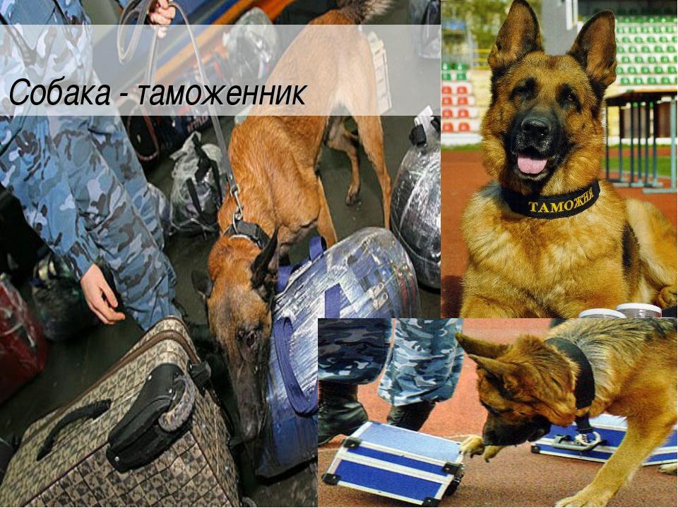 Собака - таможенник