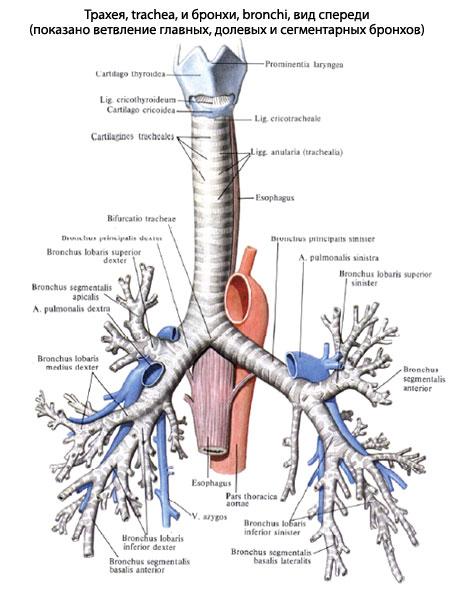 http://www.eurolab.ua/img/anatomy/a_103_1.jpg