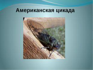 Американская цикада