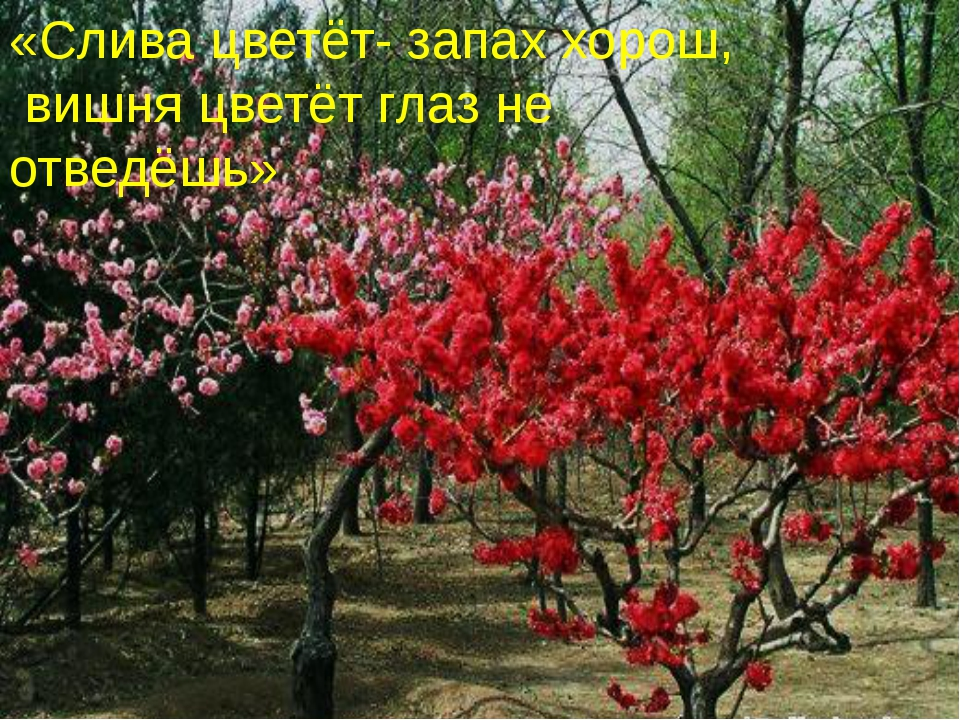 «Слива цветёт- запах хорош, вишня цветёт глаз не отведёшь»
