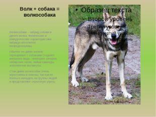 Волк + собака = волкособака Волкособаки – гибрид собаки и дикого волка. Физич