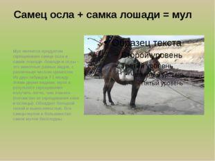 Самец осла + самка лошади = мул Мул является продуктом скрещивания самца осла