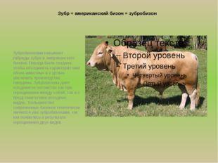 Зубр + американский бизон = зубробизон Зубробизонами называют гибриды зубра и