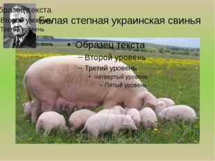 Белая степная украинская свинья