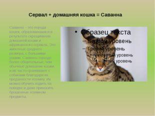 Сервал + домашняя кошка = Cаванна Саванна – это порода кошек, образовавшаяся