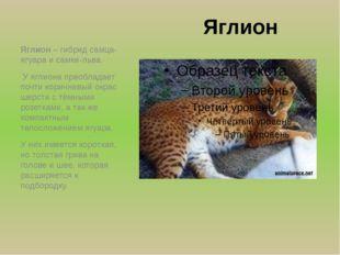 Яглион Яглион – гибрид самца-ягуара и самки-льва. У яглиона преобладает почти
