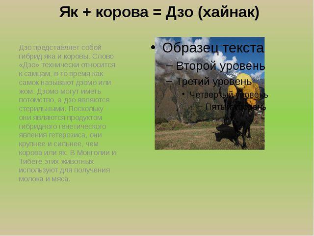 Як + корова = Дзо (хайнак) Дзо представляет собой гибрид яка и коровы. Слово...