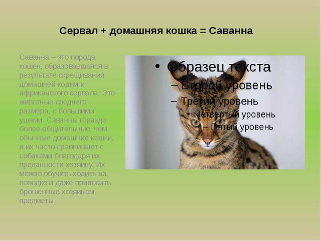 Сервал + домашняя кошка = Cаванна Саванна – это порода кошек, образовавшаяся...