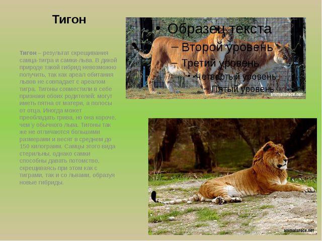 Тигон Тигон – результат скрещивания самца-тигра и самки-льва. В дикой природе...