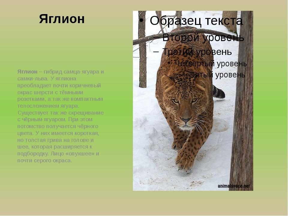 Яглион Яглион – гибрид самца-ягуара и самки-льва. У яглиона преобладает почти...