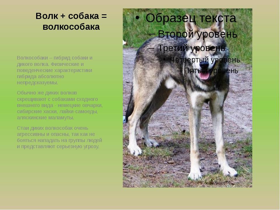 Волк + собака = волкособака Волкособаки – гибрид собаки и дикого волка. Физич...