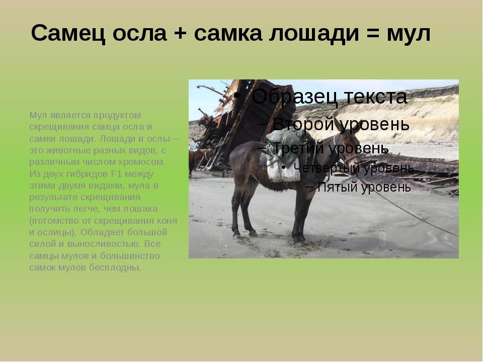 Самец осла + самка лошади = мул Мул является продуктом скрещивания самца осла...