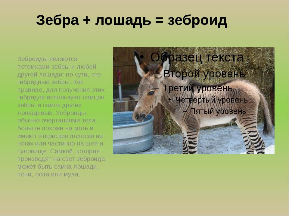Зебра + лошадь = зеброид Зеброиды являются потомками зебры и любой другой лош...