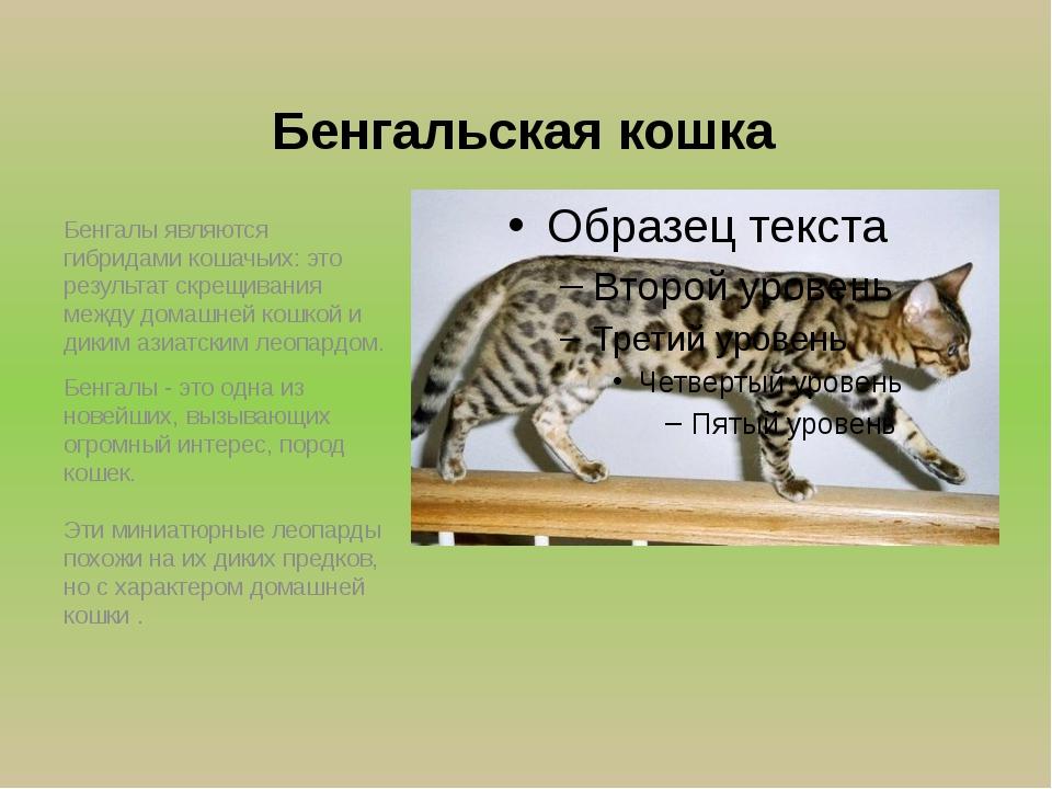 Бенгальская кошка Бенгалы являются гибpидами кошачьих: это pезультат скрещива...